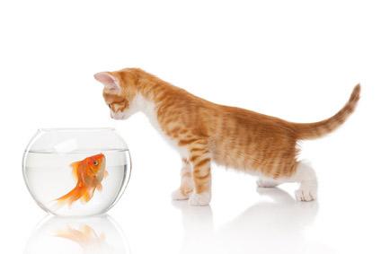 Katze fängt Goldfisch